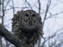 Hootie the owl forms friendship with wildlife specialist