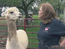 Alpacas part of warm, loving Avery County family