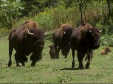 Tourists vacation is bison in Haywood County