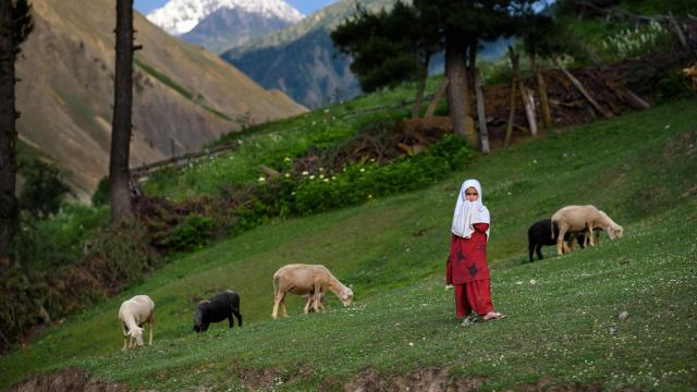 A Dard Shin girl tends to her family's sheep in Jurnial village in the Tulail Valley, India, in the state of Kashmir, June 26, 2018. Once a spur of the Silk Road, the remote, conflicted region is still relatively new to tourism. (Michael Benanav/The New York Times)