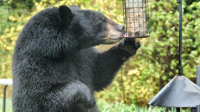 Image result for bear in bird feeder