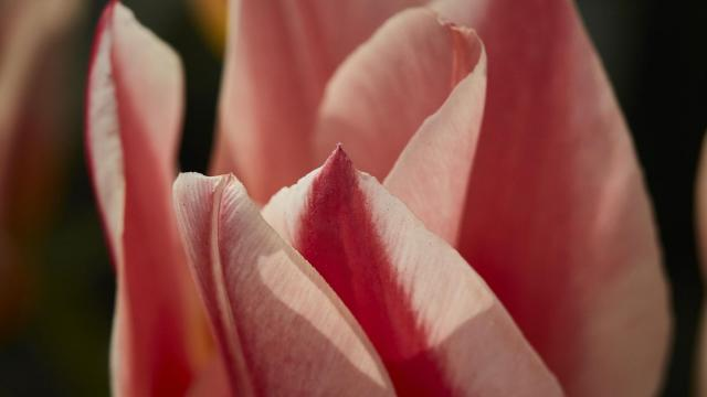 An Ode to Rembrandt's Tulips