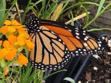 Bill Leslie: Monarch migration