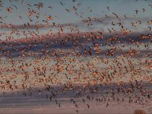 Pungo waterfowl at sunset