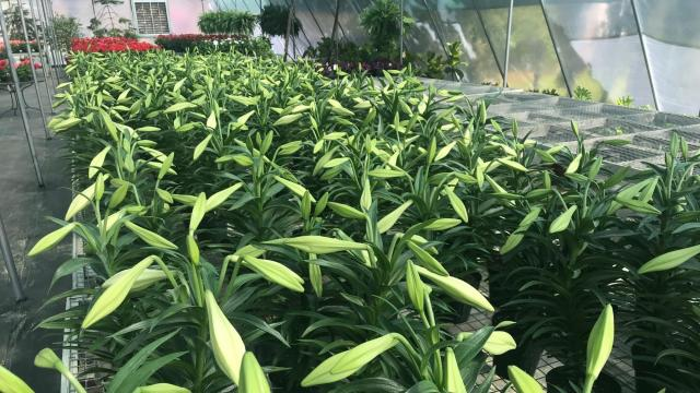 Campbell Road Nursery is giving away free Easter lillies to spread hope and joy during the coronavirus pandemic.