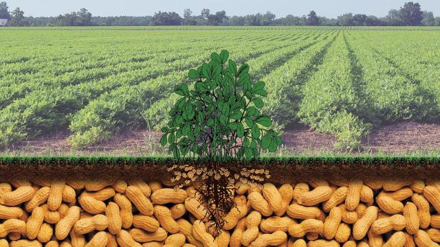 Peantus : Spotlight : Peanut Sustainability