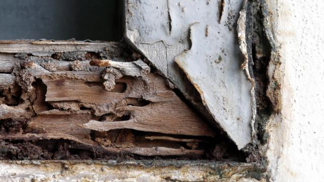 Termites are drawn to our homes and wood piles, and can cause immense amounts of damage if unchecked. (cgdeaw/Big Stock Photo)