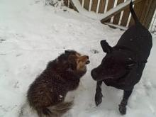 Little dog vs. BiG dog's SNOW frisky-ness