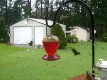 Hummingbirds during Irene