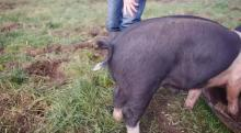 IMAGE: Have You Seen This? How to straighten a pig's tail