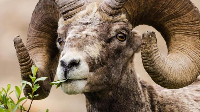 A Rocky Mountain Bighorn ram, spotted in Glacer National Park in Montana. (Deseret Photo)