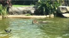 IMAGE: Have You Seen This? Duck bests tiger in epic swimming game