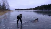 IMAGE: Have You Seen This? Woman with ax saves moose from ice