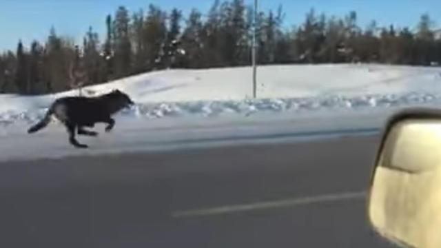 One Canadian woman was recently surprised when a pack of wild wolves galloped down the street next to her as she drove down the street. (Deseret Photo)
