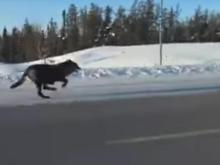 Watch: Wild pack of wolves race down highway next to driving woman