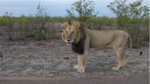 IMAGE: Have You Seen This? Don't tease a lion
