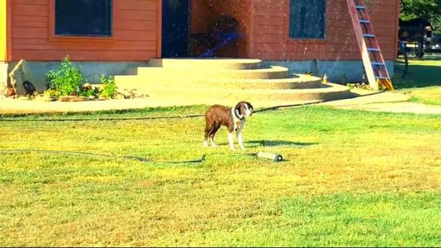 have you seen this best dog ever drags sprinkler inside wral com
