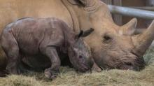 IMAGE: A Baby Southern White Rhino Was Born At The San Diego Zoo—here's Why That's A Big Deal