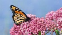 IMAGE: This Year's Monarch Butterfly Migration Appears Larger Than Usual