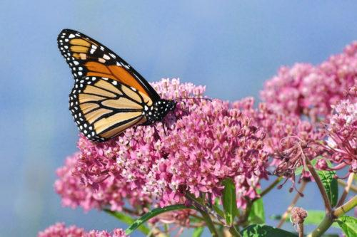 This Year's Monarch Butterfly Migration Appears Larger Than Usual (Simplemost Photo)