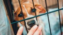 IMAGE: Pet Rescue Is Picking Up Dogs From Kill Shelters To Meet Foster And Adoption Demand