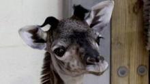 IMAGE: A Baby Giraffe Was Born At Disney's Animal Kingdom