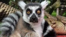 IMAGE: San Francisco Zoo's Stolen Lemur Was Found By 5-year-old Boy