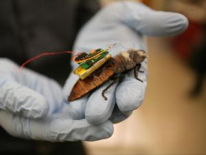 N.C. State graduate research assistant Tahmid Latif holds a Madagascar hissing cockroach that's outfitted with an artificial implant to control its movement.