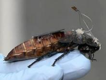 Remote-controlled cockroaches