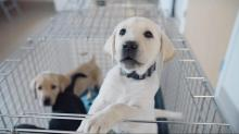 IMAGES: NC State research helps puppies to become guide dogs