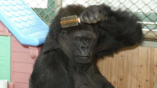 Credit: Koko & The Gorilla Foundation Facebook