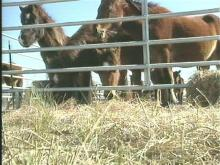 Diseased Wild Horses Euthanized