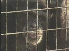 Sydney the Chimp Still On the Loose