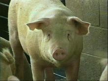 Hog Farm Faces Threat of Shut Down