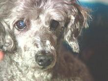 Cary Pub's Popular Poodle Returned