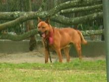 This dog allegedly attacked a four-year-old Cumberland County boy. (WRAL-TV5 News)