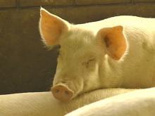 UNC Study Finds Hog Farm Neighbors Suffer More Health Problems