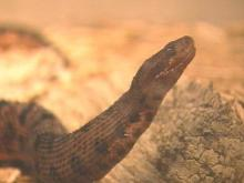 The Wildlife Resources Commission wants to give state protection to four types of snakes.(WRAL-TV5 News)