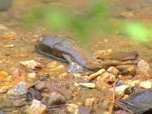 Fish Kill Hits Raleigh Creek