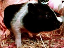 It is no longer illegal to own a potbellied pig in Raleigh.(WRAL-TV5 News)
