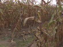 Vandals on ATVs Destroy N.C. State Researchers' Cornfields