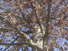 A bit of Durham's history was lost Thursday when a 125-year-old oak tree came down. For residents, the tree on Old Oak Court was a powerful symbol.(WRAL-TV5 News)