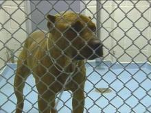 Eleven Pit Bulls May Be Euthanized After Involvement In Dogfighting Ring