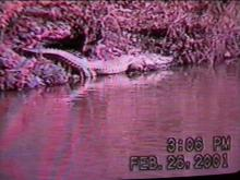 The legendary gator was caught on tape last month.(WRAL-TV5 News)