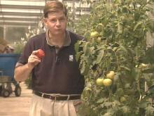 dan-tomato