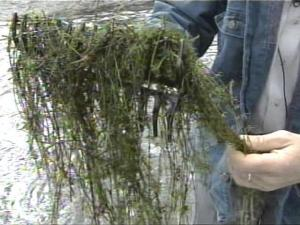 Hydrilla can grow in almost any freshwater environment.