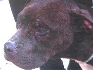 Pit Bull Seized
