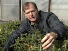 Dr. John Frampton studies Christmas trees year-round at N.C. State.