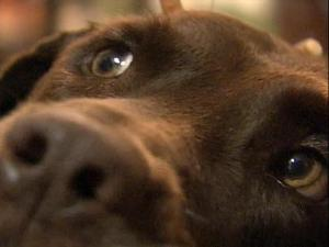 Truman, a chocolate Labrador retriever, was shot by a Raleigh police officer who was responding to a call about a dog bite. The dog suffered a ruptured eardrum and has been recovering at home.