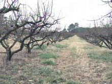 Warm Weather Leaves Farmers Less Than Peachy